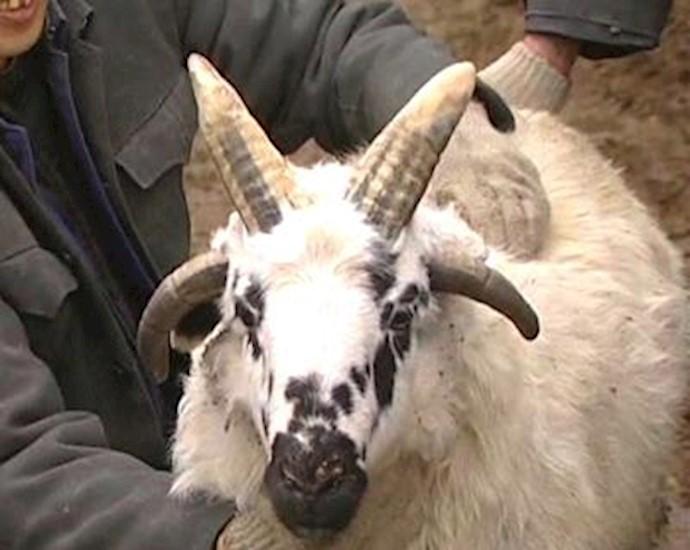 گوسفند چهارشاخ