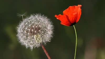 قاصدک و گل