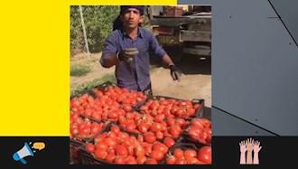 اعتراض کشاورز گوجه فرنگی