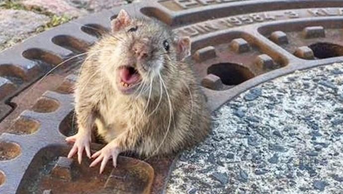 موش خمار